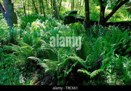 green ferns in english wooded garden, norfolk, england - Stock Image