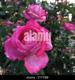 Pink roses in garden - Stock Image