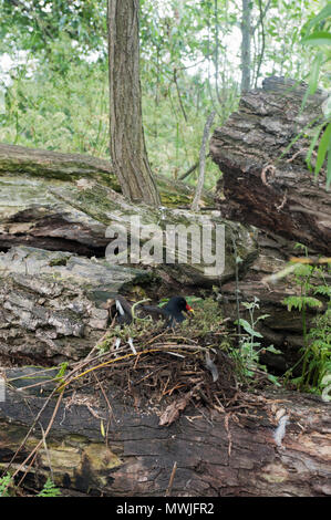 adult Common Moorhen, (Gallinula chloropus), also known as Moorhen, Swamphen, incubating eggs in a ground nest, Regents Park, London, United Kingdom - Stock Image
