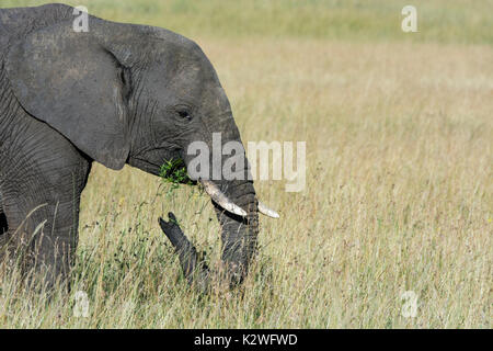 Side view of a lone African Elephant, Loxodonta africana,eating grass, Masai Mara National Reserve, Kenya, East Africa - Stock Image