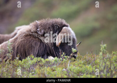A large Muskox (Ovibos moschatus) grazes on the tundra of Nome, Alaska during the summer - Stock Image