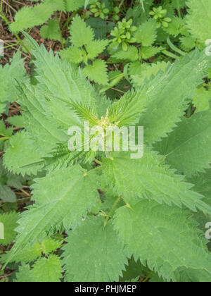 Foliage / leaves of the common Stinging Nettle (Urtica dioica), a well-known foraged food for making nettle soup. - Stock Image