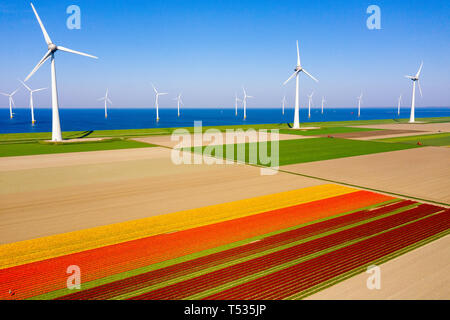 Typical Dutch landscape with wind turbines in water with red / purple tulip field on the foreground - Stock Image