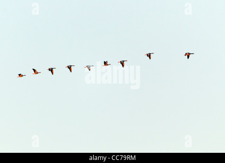 Greylag Goose (Anser anser), Skien Flying in Formation at Dawn, Sjaelland, Denmark - Stock Image