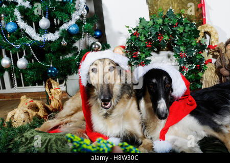 borzoi puppies dressed as father christmas - Stock Image