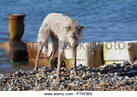 Worthing, UK. Sunday 8th July 2018. A dog on the beach on a very warm morning in Worthing, on the South Coast. Credit: Geoff Smith / Alamy Live News. - Stock Image