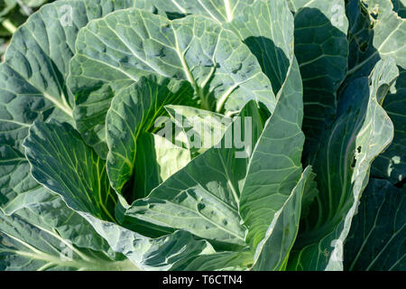 Farm field with rows of young fresh green cabbage plants growing outside under greek sun, agriculture in Greece. - Stock Image