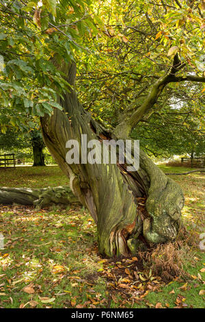 Twisted spiral trunk of an old Sweet Chestnut Tree (Castanea sativa), Bradgate Park, Leicestershire, England, UK - Stock Image