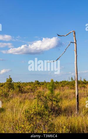 A single dead tree in the Okefenokee swamp, with two sparse limbs enveloping a white clould against a blue sky. - Stock Image