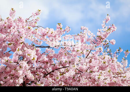 31.03.2019, Hannover, Lower Saxony, Germany - Cherry blossom. 00X190331D037CAROEX.JPG [MODEL RELEASE: NO, PROPERTY RELEASE: NO (c) caro images / Oberh - Stock Image