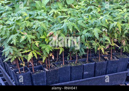 Neem  'Azadirachta indica' cuttings growing in pots, greenhouse. - Stock Image