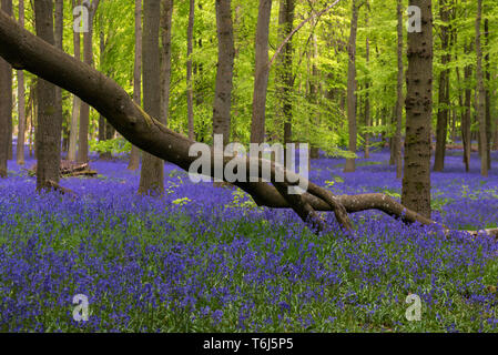 Bluebells and  Beech Trees Dockey Woods Ashridge Estate,UK - Stock Image