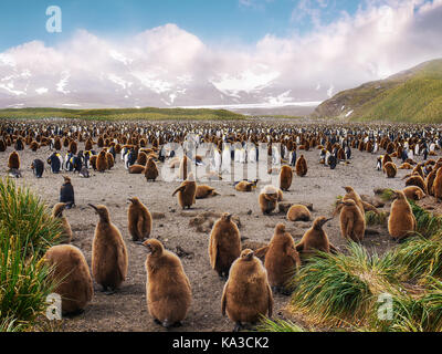 Large king penguin colony on Salisbury Plain on South Georgia Island with penguin chicks in the foreground and adults - Stock Image