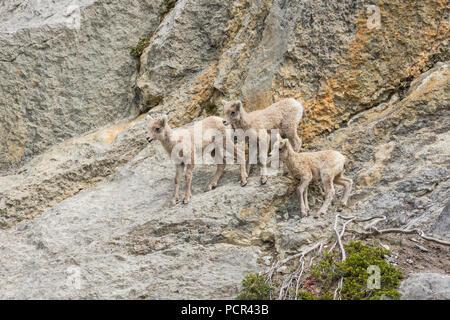 Rocky Mountain Bighorn Sheep lambs, Ovis canadensis, on a rock face, Jasper National Park, Alberta, Canada - Stock Image