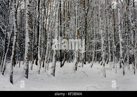 snow covered birch trees in woodland near Farnham, Surrey, England - Stock Image