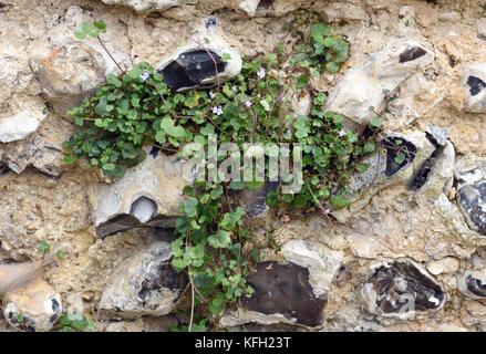 Ivy-leaved Toadflax (Cymbalaria muralis, Linaria cymbalaria) growing in an ancient lime mortar and flint wall. Winchester, - Stock Image