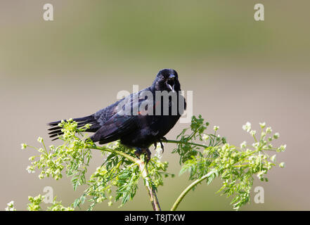 Red winged blackbird Male - Stock Image