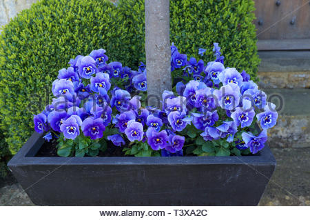 Pansy flowers grow in a tree planter, in Broadway, Worcestershire, UK. - Stock Image