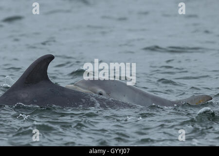 Bottlenose dolphin mother and calf in the Moray Firth - Stock Image