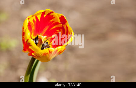 single bright red and yellow tulip outdoor on sunny summer day closeup - Stock Image
