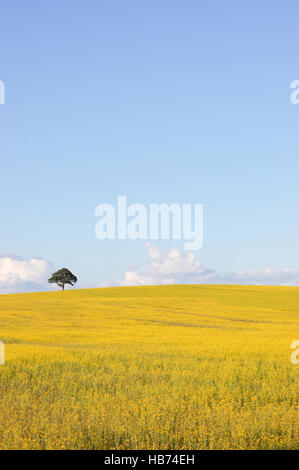 Single tree on a hill in a field of yellow rapeseed - Stock Image