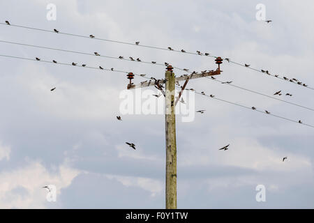 House martins gathering on electricity poles, in preparation for migration. - Stock Image