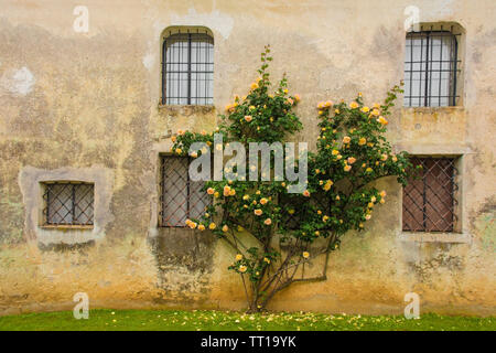 Orange roses growing against an historic building in north east Italy - Stock Image