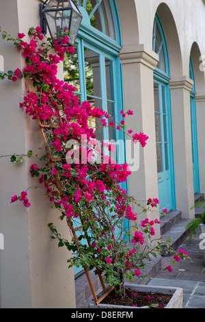 Bougainvillea flowers on the street of New Orleans, French Quarter, USA - Stock Image