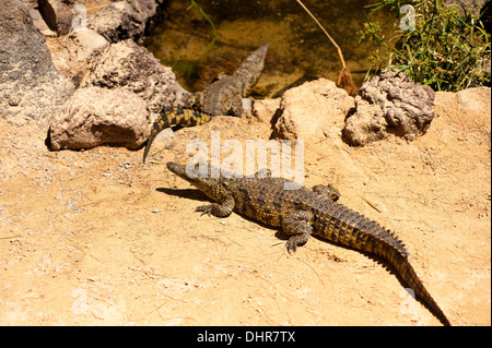 crocodiles entering water - Stock Image