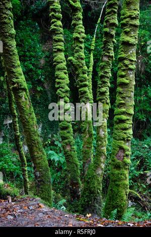Green moss on tall thin trees at Torc Waterfall, Killarney National Park, County Kerry, Ireland - Stock Image