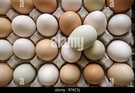 Herefordshire, UK. Free-range organic hens' eggs fresh from the farm, from different breeds of chicken - Stock Image