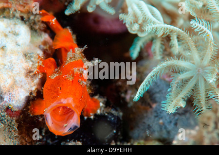 Juvenile Painted frogfish (Antennarius pictus) yawning sequence in coral, Lembeh Strait, Sulawesi, Indonesia - Stock Image