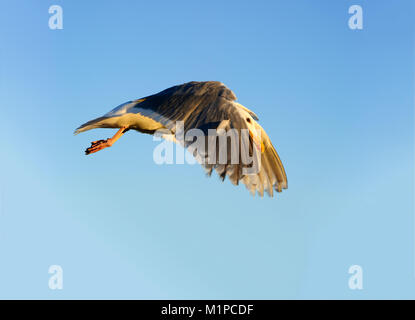 Seagull flying is a closeup of a seagull flying against a nice blue sky. - Stock Image