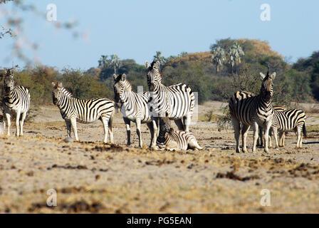 A group of cautioned zebras at Etosha National park Botswana - Stock Image