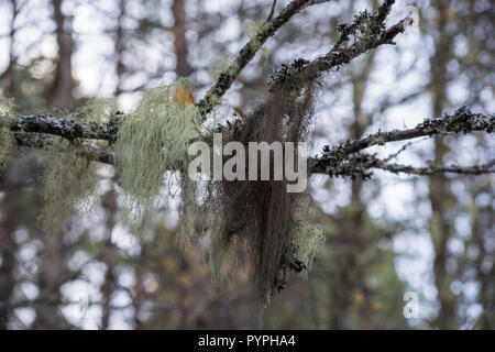 Old Man's Beard Lichen, growing on a silver birch tree in Glen Affric, Highland, Scotland - Stock Image