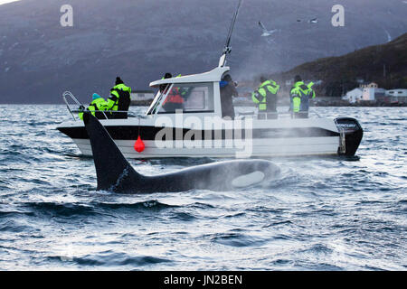 Orca, or Killer Whale (Orcinus orca) surfacing next to whale watching boat, with whale watchers looking at the other side - Stock Image