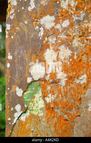 Building wall covered with moss and leichens in a Puerto Rican rain forest. - Stock Image