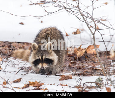 A North American Raccoon wandering in the Adirondack Mountains in winter, with a snow background. - Stock Image