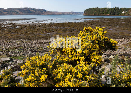 Gorse bushes by Loch Ewe at Poolewe, west coast of Scotland. - Stock Image