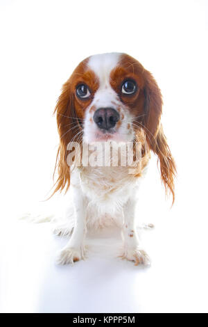 Guilty face. Dog with guilty face on isolated white studio background. - Stock Image