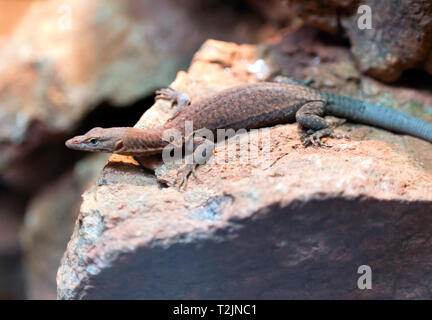 Close-up of a Southern Pilbara Rock Monitor, Hartley's Crocodile Adventures, Captain Cook Highway, Wangetti, Queensland, Australia. - Stock Image