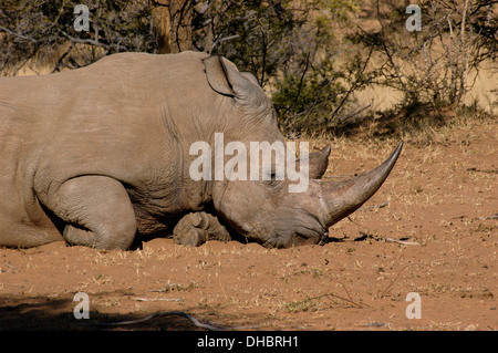 Black rhinoceros (Diceros bicornis) male, which was orphanned by poachers and lives in a fenced reserve, South Africa - Stock Image