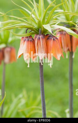 Fritillaria Imperialis orange flower. - Stock Image