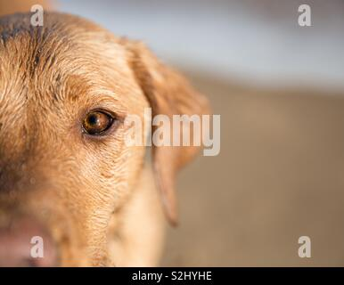 A close up portrait of a yellow Labrador retriever dog standing on a sandy beach and focussing on it's clear brown eyes with copy space - Stock Image