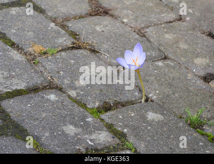 An autumn flowering crocus flower forces its way through brick paving. Bedgebury Forest, Kent, England. UK. - Stock Image