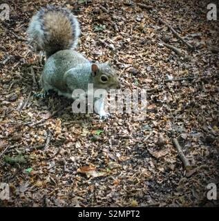 Grey squirrel - Stock Image