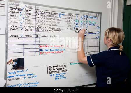 Veterinary Nurse Updates the Operations Board in a Veterinary Practice - Stock Image