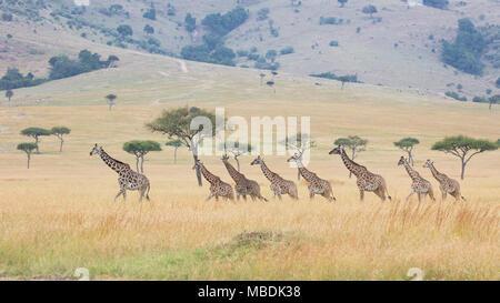 Small herd of Maasai Giraffes (Giraffa camelopardalis) walking in single file through open grassland - Stock Image