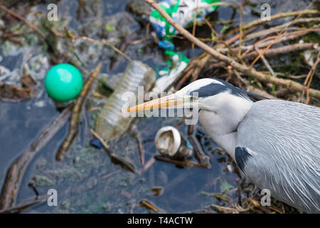 Plastic waste polluting the feeding ground of a Grey Heron. - Stock Image