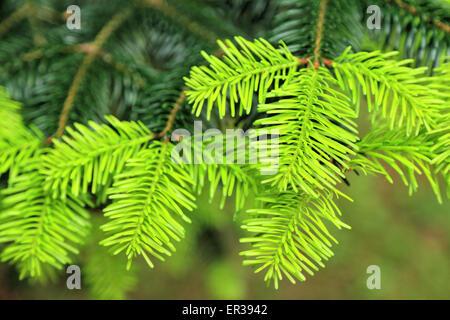 Nikko fir (Abies homolepis) - Stock Image